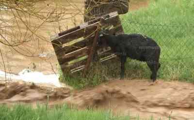 Schafe drohen von Fluten mitgerissen zu werden, Unwetter in Ostthüringen: Hagel, Sturm und Orkanböen begrüßen den Frühling